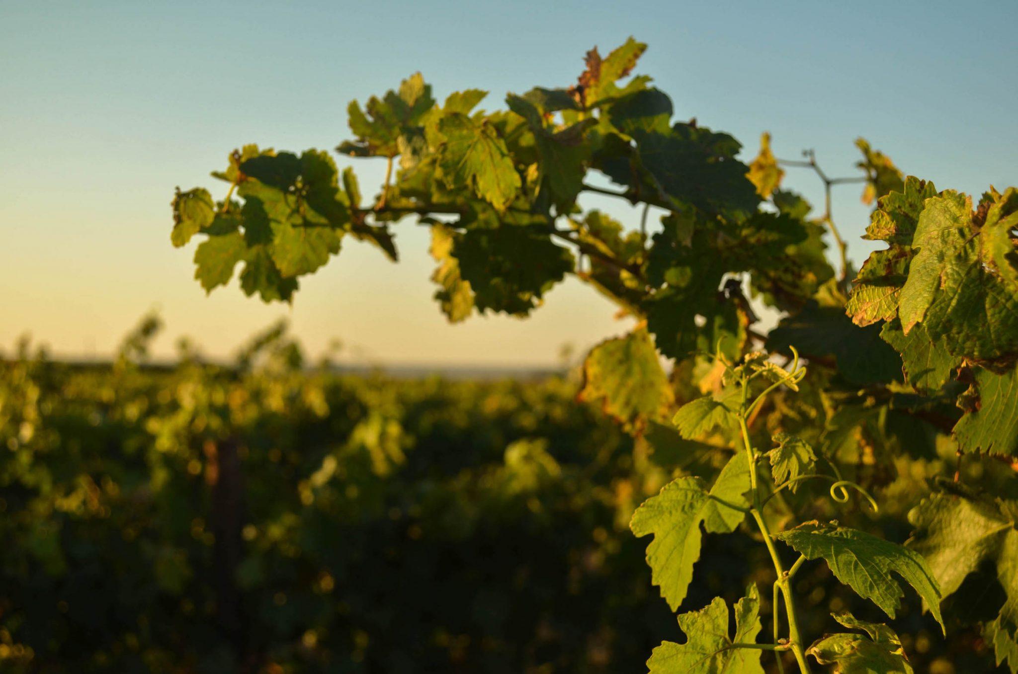 Stellar Organic Winery Vineyards Western Cape