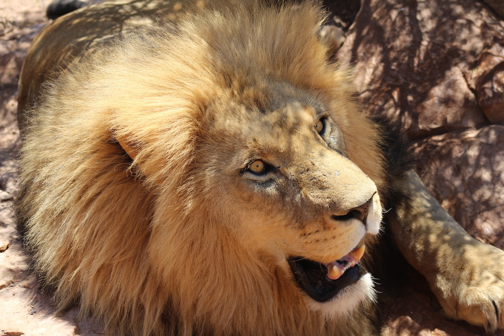 Aquila Private Game Reserve Lion