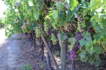 Grapes in Wine in Riebeek Kasteel Valley
